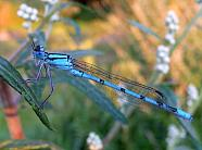 Damselfly cleaning eyes