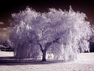 Infrared shot of a willow tree