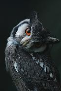 White Faced Scops Owl, Ebbw Vale Owl Sanctuary.